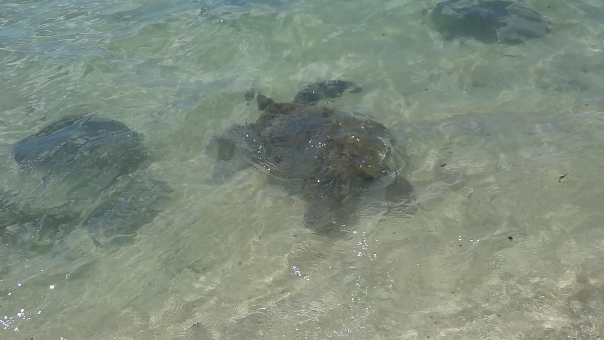ハワイ ウミガメ 見れる